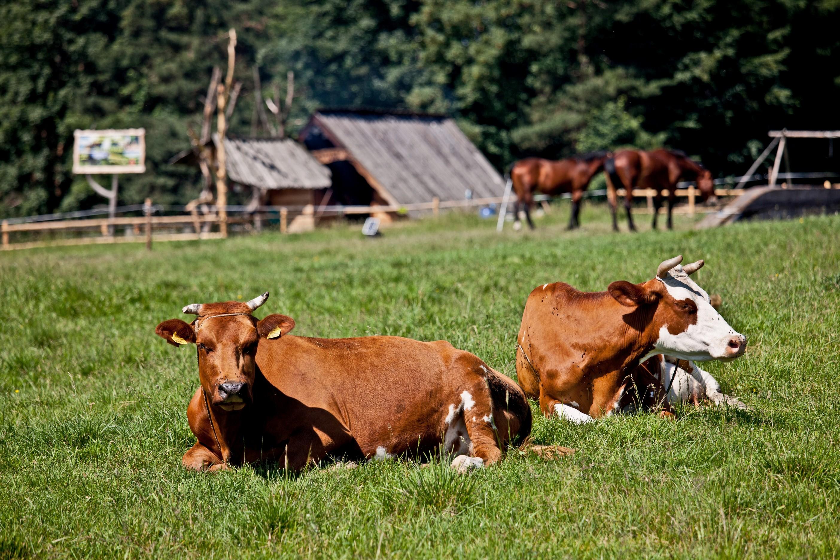 bovine services  El Campo, TX